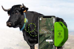 GPS pour vaches