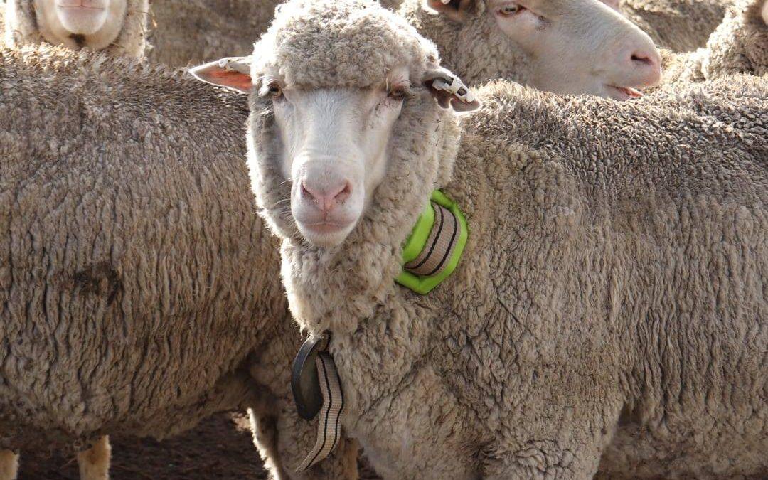 Aider à réduire la mortalité des brebis en Australie grâce au GPS pour le bétail de digitanimal