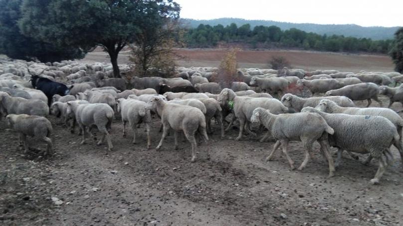 Moutons et chèvres avec des dispositifs GPS dans la transhumance