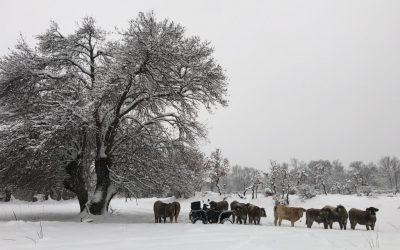 GPS pour bétail pour faire face à la tempête Filomena qui a touché l'Espagne